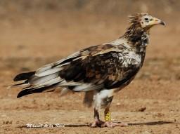 Third plumage type