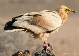 Adult plumage